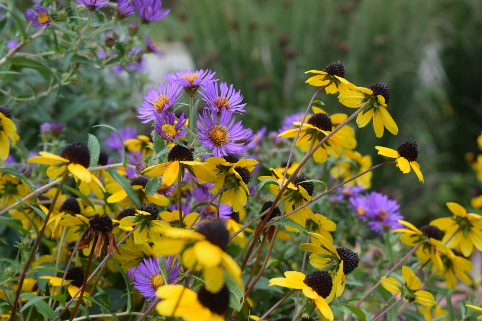 New England Aster with Brown-Eyed Susan.