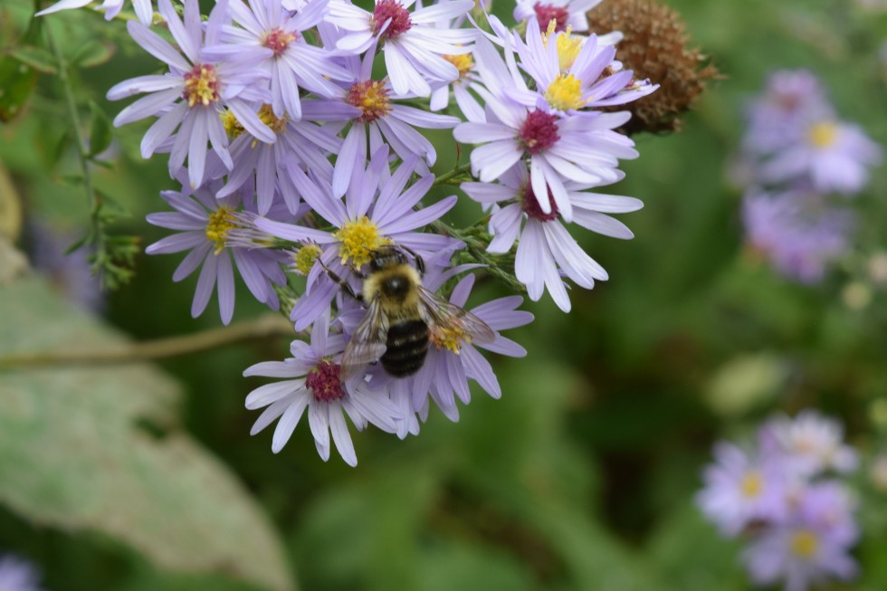 Bumblebee on Short's Aster.