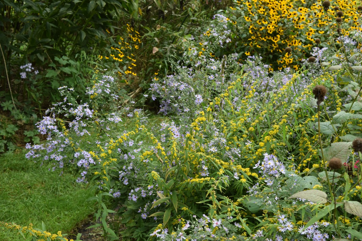 DSC_0823 bluestem goldenrod shorts aster