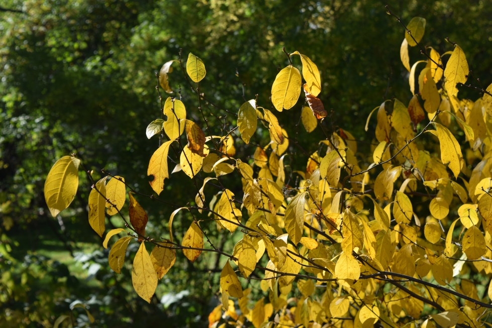 Spicebush leaves.