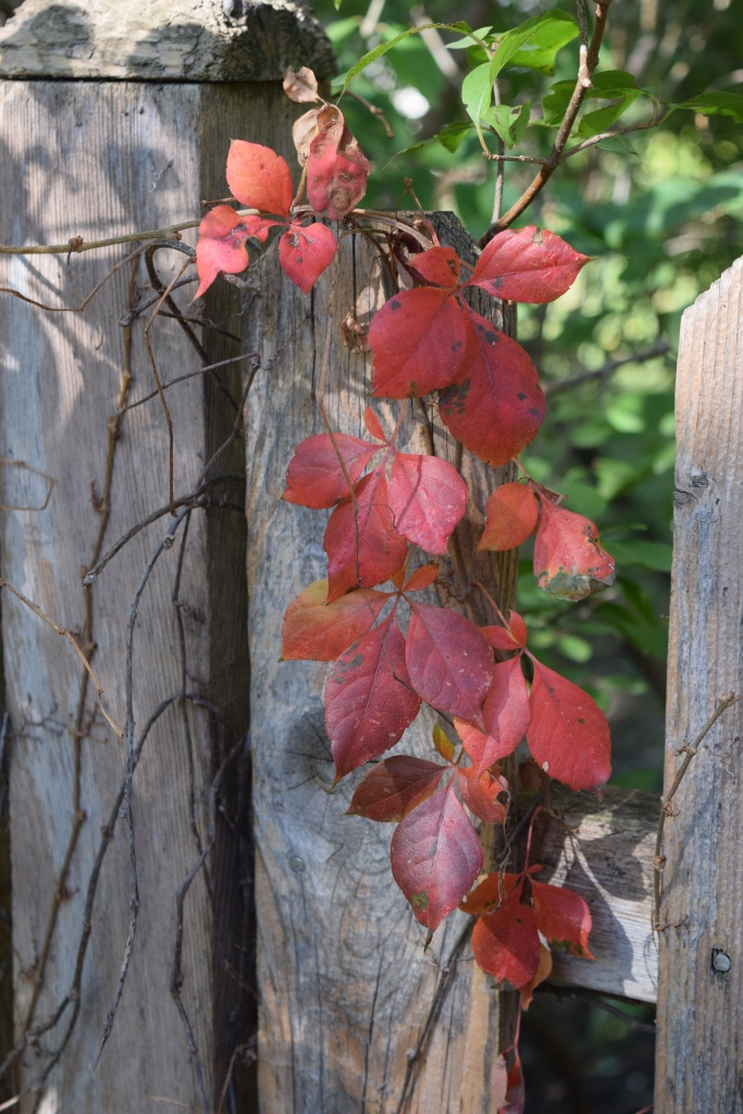 DSC_0717 Virginia creeper