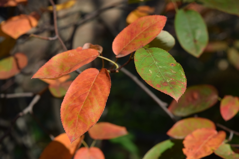 'Autumn Brilliance' Serviceberry