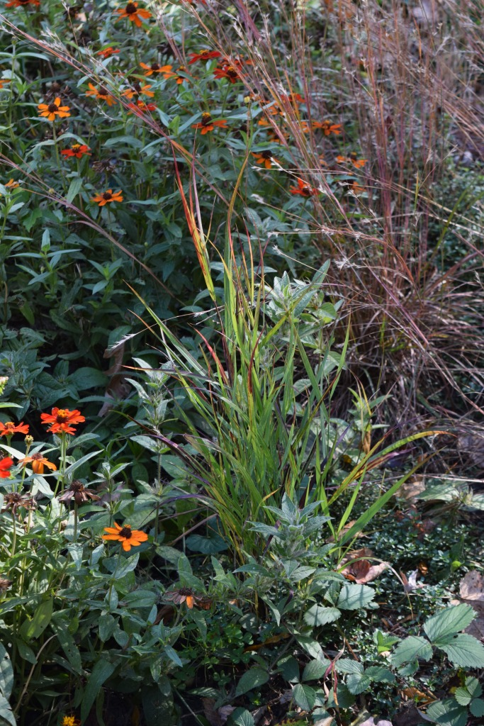 Switchgrass 'Shenandoah'