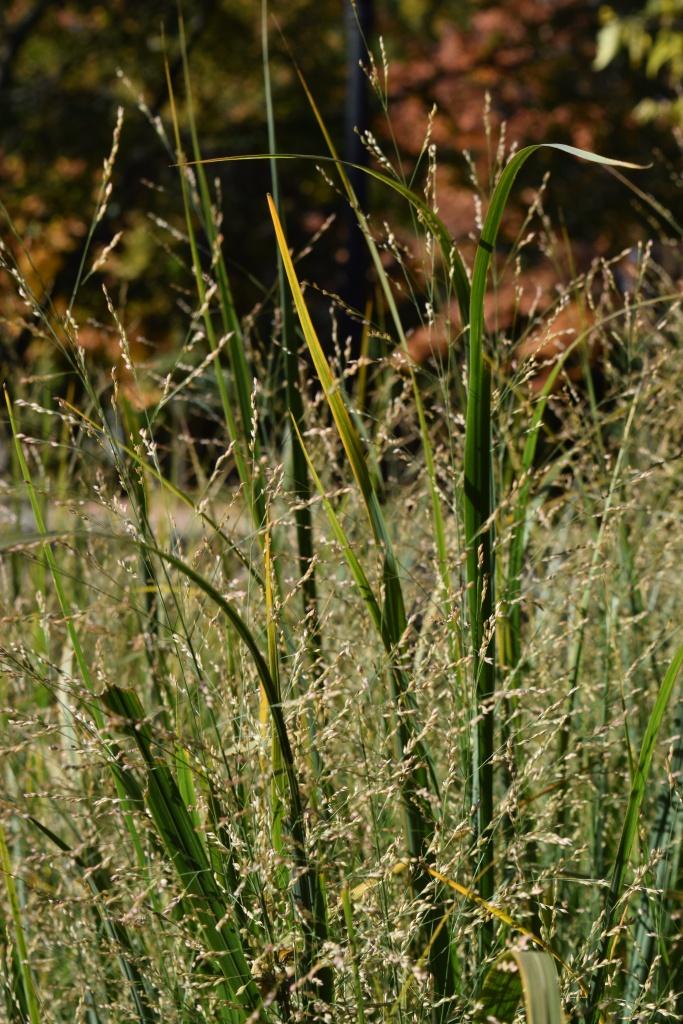 DSC_0750 switchgrass