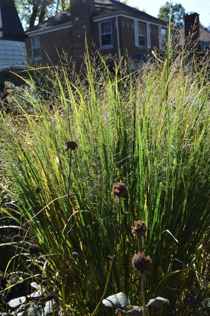 'Northwind' Switchgrass