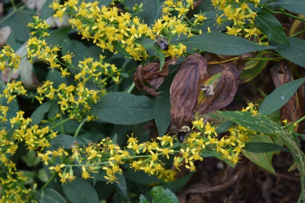 DSC_0766 back garden zigzag goldenrod