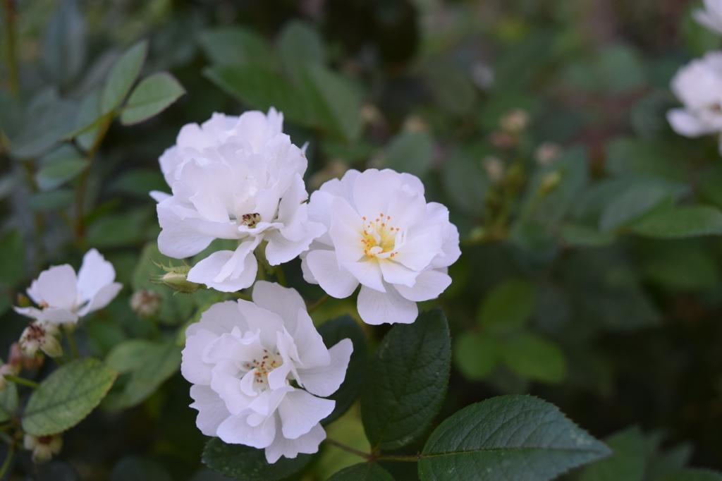 DSC_0830 rose cassie