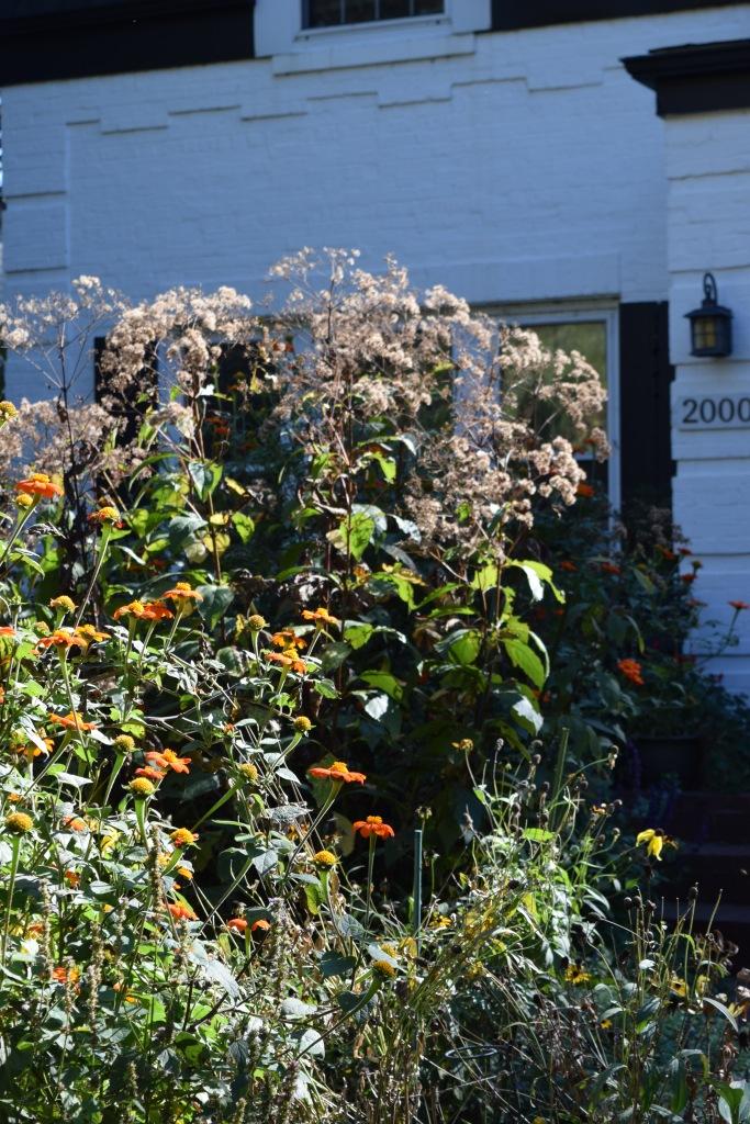 DSC_0835 (2) joe pye weed and tithonia