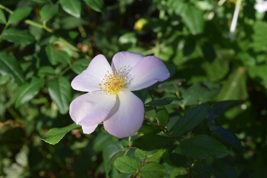 DSC_0871 rose sallie holmes