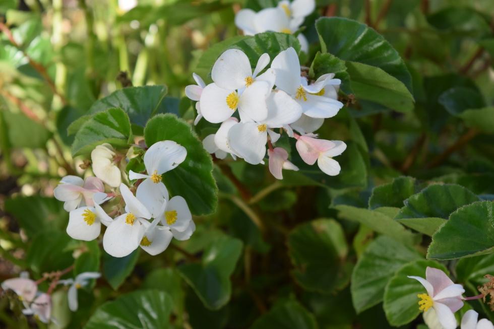 DSC_0874 begonia