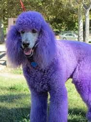 purple poodle