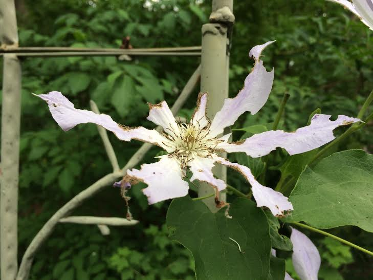 clematis insect damage