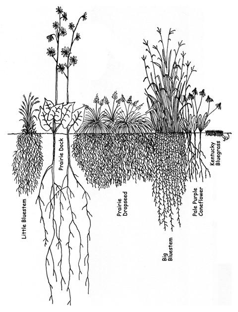 prairie-roots