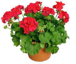 geranium-pot
