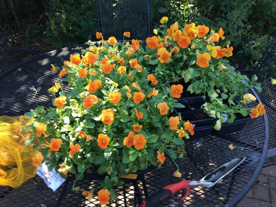 orange-pansies-2