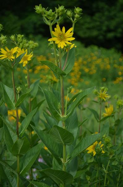 rosin-weed-silphium-integrifolium