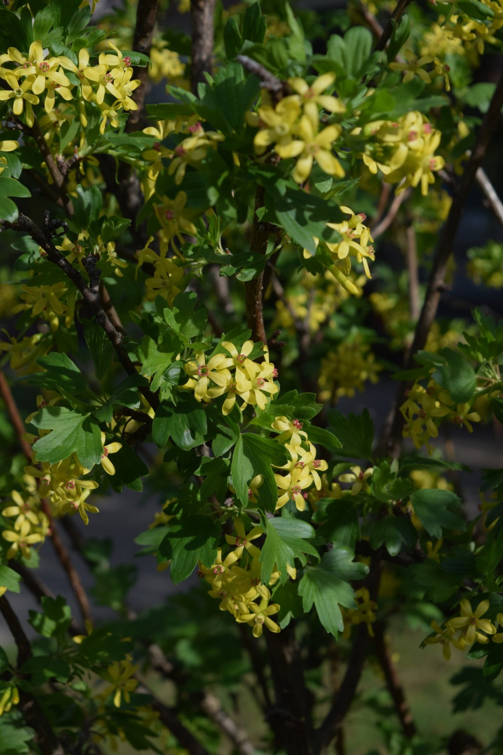 Two shrubs for spring fragrance gardeninacity the clove currant in the front garden is especially floriferous and powerfully scented this year its been covered with clusters of small yellow flowers mightylinksfo