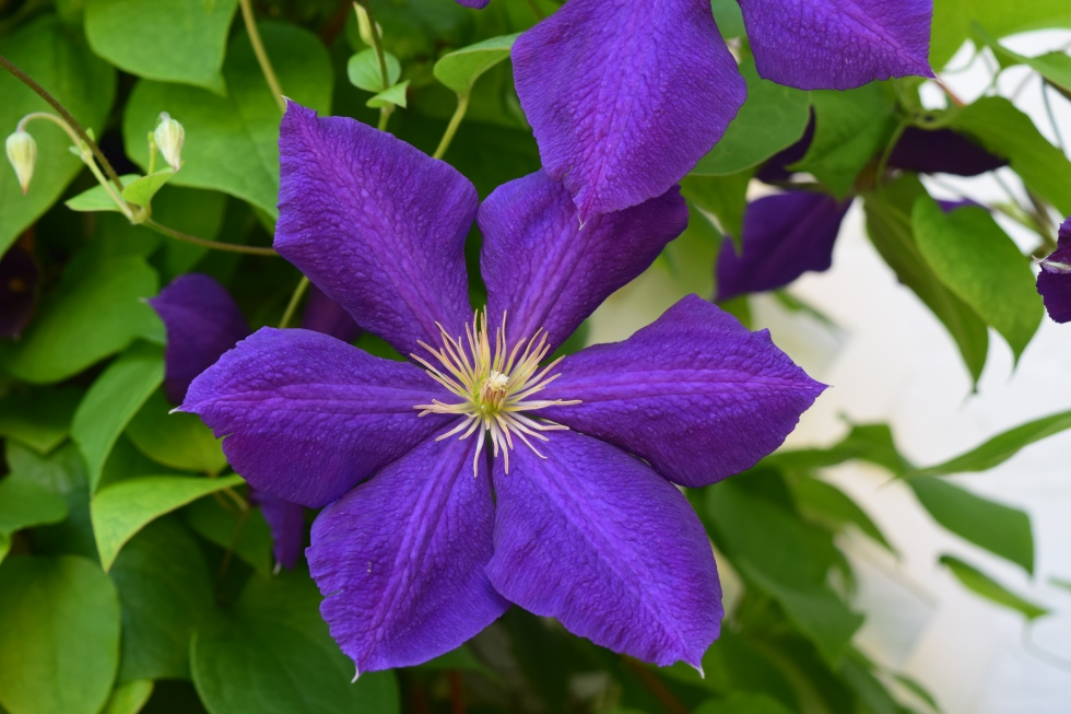 Its clematis time gardeninacity how can anyone resist those big purple flowers mightylinksfo Images