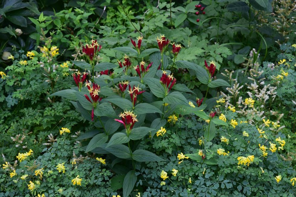 Indian pink summer flowers for shade gardeninacity dsc0541 mightylinksfo