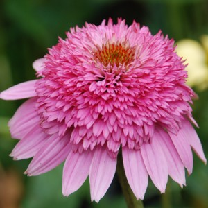Echinacea-Pink-Double-Delight-from-Great-Garden-Plants-300x300