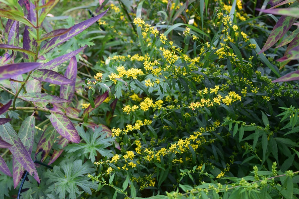bluestem goldenrod