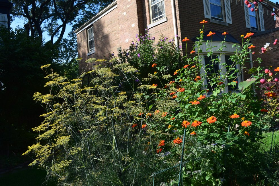 fennel and tithonia