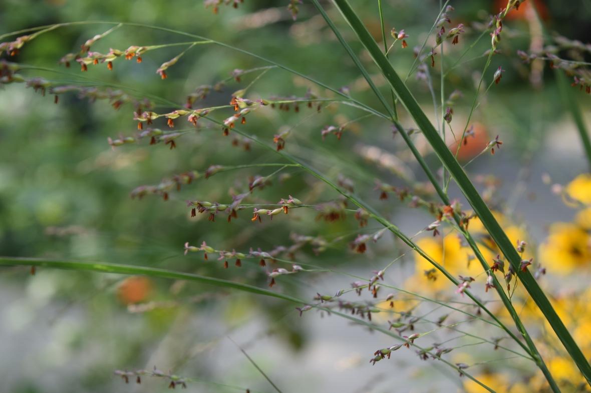 switchgrass 1