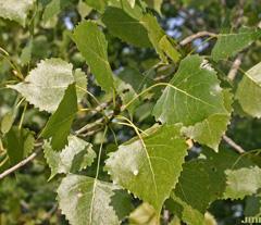 Populus-deltoides-lvs-JH