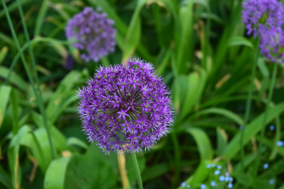 Allium close