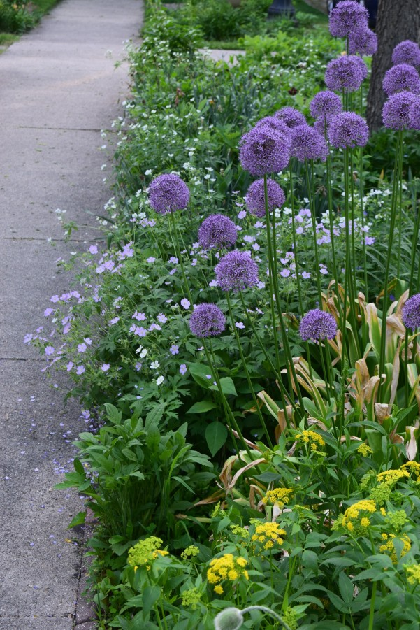 Allium sidewalk 2