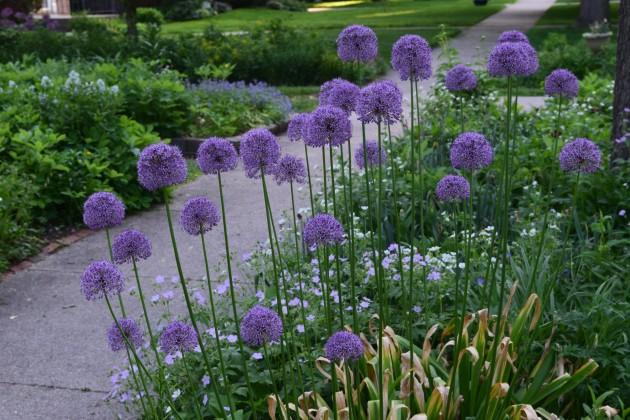 Allium sidewalk