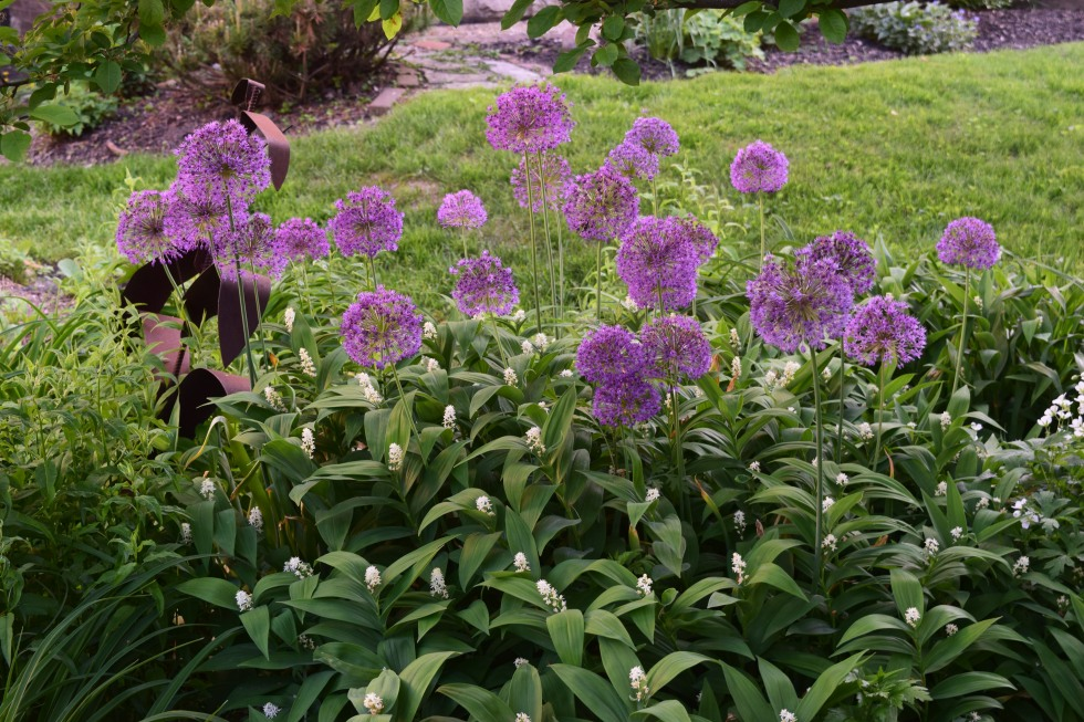 Alliums in crabapple bed