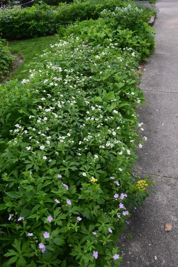 Geranium sidewalk border
