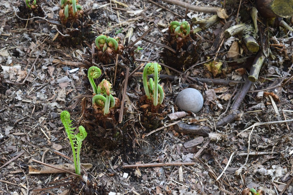 Ostrich fern fiddleheads