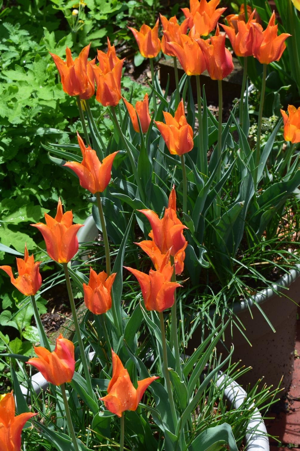 tulip-ballerina-2.jpg