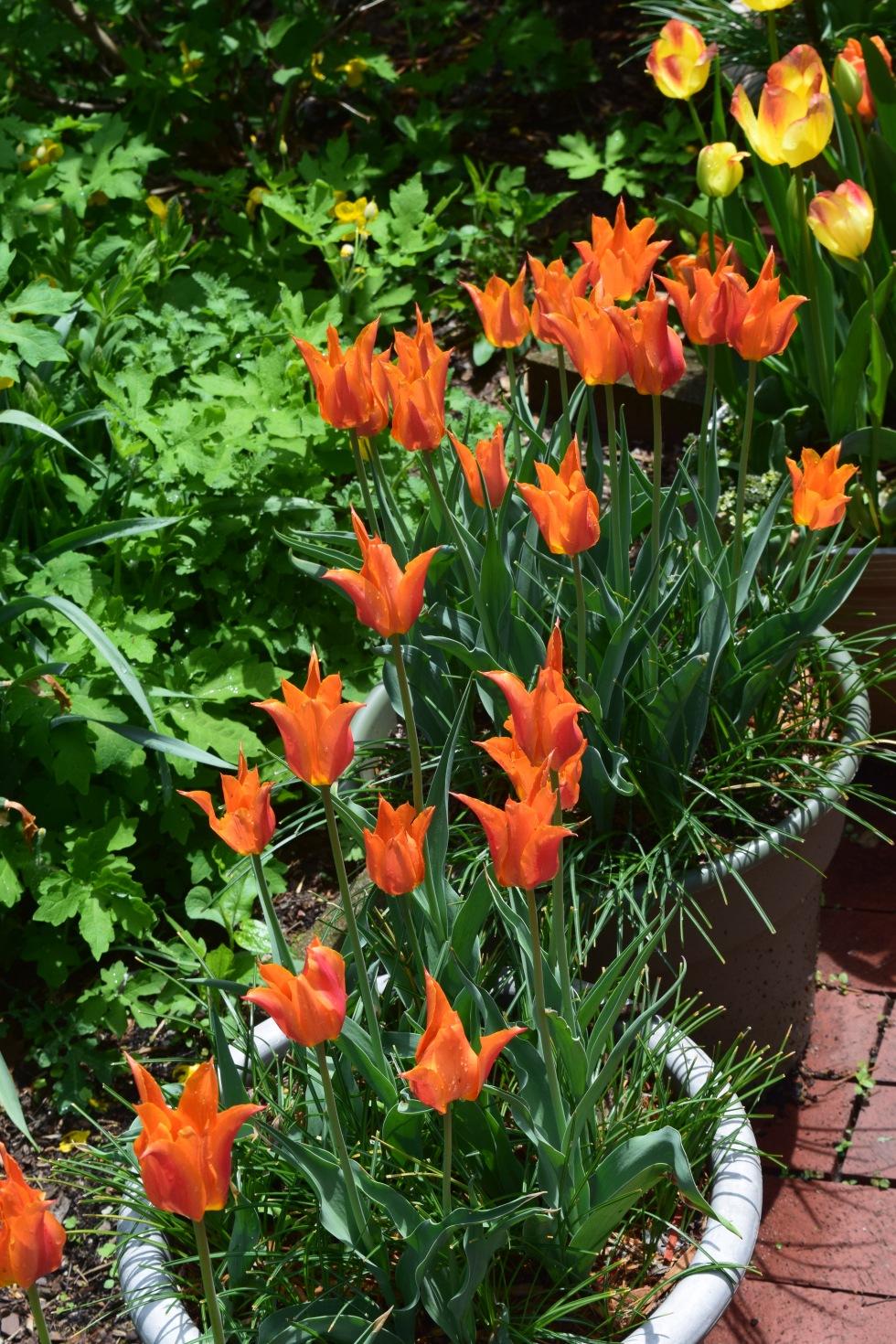 tulip ballerina 2