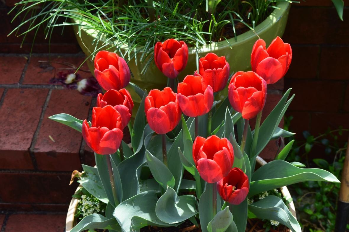 tulip couleur cardinal