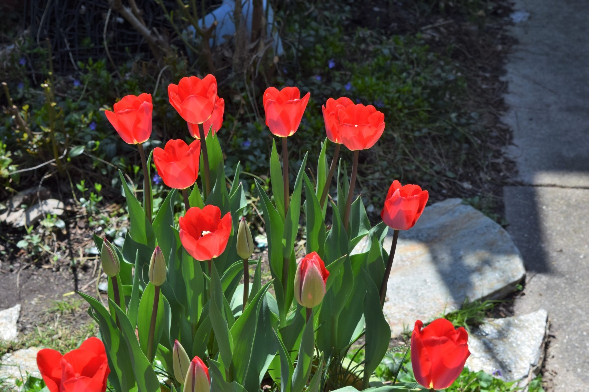 Tulip fostery king