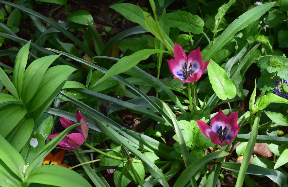 tulip persian pearl