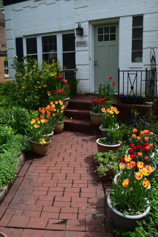 tulips in containers 2