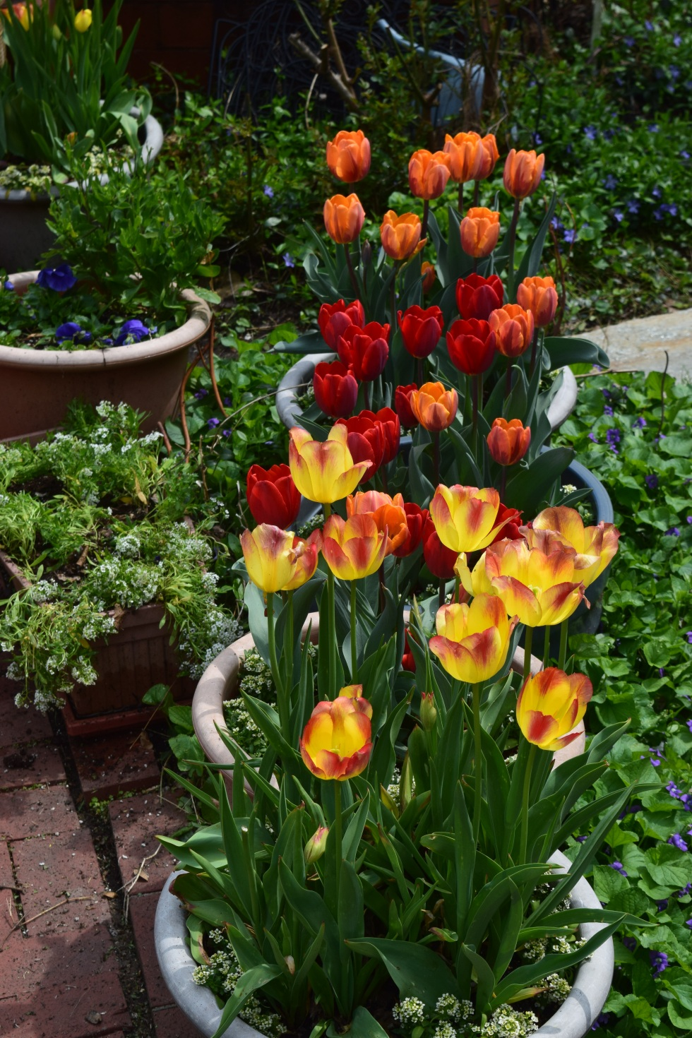 tulips in containers 3