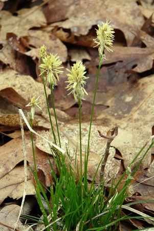 penn sedge flower