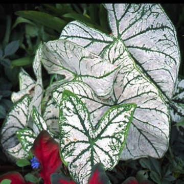 araceae-caladium-candidum_sr-angel_wings-_elephant_ears-1