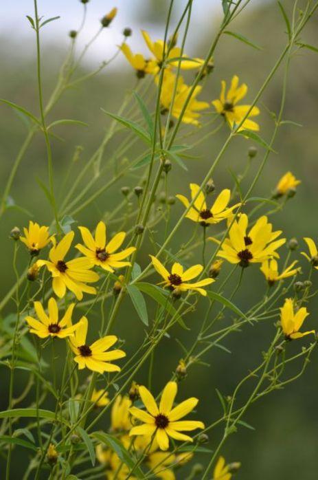 coreopsis-tripteris-tall-coreposis_plant_467x705