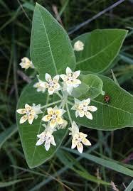 oval leaf milkweed