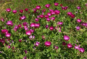 callirhoeplant