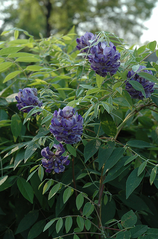 wisteria am falls