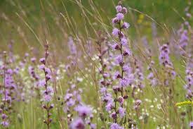 meadow blazing star 2