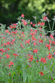 royal catchfly2