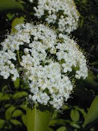 il wildflowers blackhaw